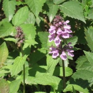 Photographie n°49720 du taxon Stachys palustris L.