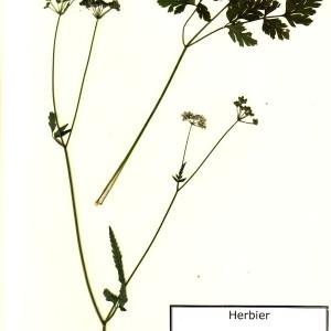 Photographie n°49728 du taxon Torilis japonica (Houtt.) DC. [1830]