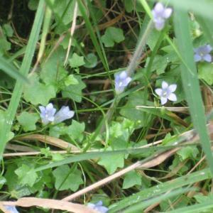 Photographie n°49735 du taxon Wahlenbergia hederacea (L.) Rchb.