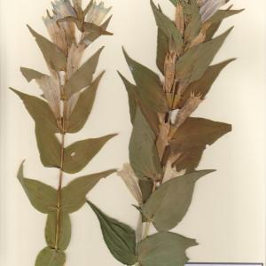 Photographie n°49737 du taxon Gentiana asclepiadea L. [1753]