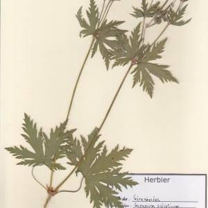 Photographie n°49746 du taxon Geranium sylvaticum L. [1753]