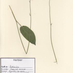 Photographie n°49749 du taxon Hieracium murorum L. [1753]