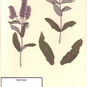 Photographie n°49763 du taxon Mentha longifolia (L.) Huds. [1762]