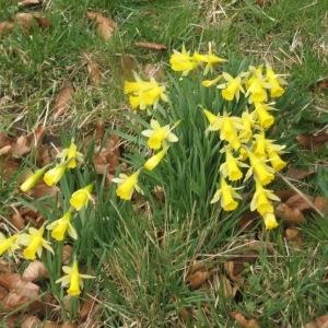 Photographie n°49775 du taxon Narcissus pseudonarcissus L. [1753]