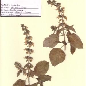 Photographie n°49781 du taxon Ocimum basilicum L. [1753]