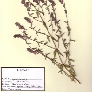 Photographie n°49782 du taxon Odontites vernus (Bellardi) Dumort. [1827]