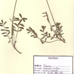 Photographie n°49789 du taxon Onobrychis viciifolia Scop.