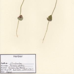 Photographie n°49819 du taxon Parnassia palustris L. [1753]