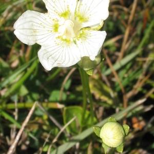 Photographie n°49821 du taxon Parnassia palustris L. [1753]
