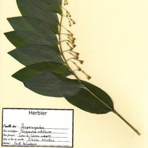 Photographie n°49843 du taxon Polygonatum multiflorum (L.) All. [1785]