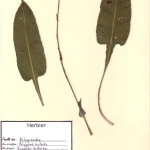 Photographie n°49845 du taxon Bistorta officinalis Delarbre