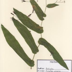 Photographie n°49852 du taxon Prenanthes purpurea L. [1753]