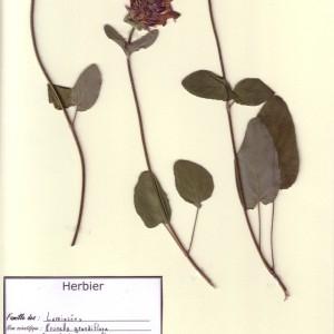 Photographie n°49856 du taxon Prunella grandiflora (L.) Schöller