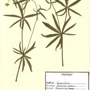Photographie n°49870 du taxon Ranunculus arvensis L. [1753]