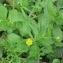 Laurent Petit - Ranunculus arvensis L.
