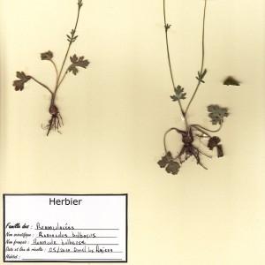 Photographie n°49872 du taxon Ranunculus bulbosus L. [1753]