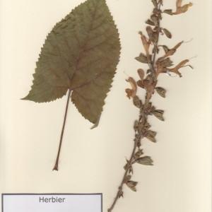 Photographie n°49881 du taxon Salvia glutinosa L. [1753]