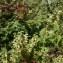Laurent Petit - Salvia glutinosa L. [1753]