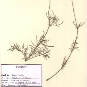Photographie n°49892 du taxon Scabiosa columbaria L. [1753]