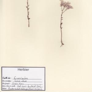 Photographie n°49899 du taxon Sedum album L.