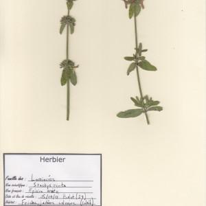 Photographie n°49924 du taxon Stachys recta L. [1767]