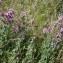 Laurent Petit - Thymus vulgaris L.