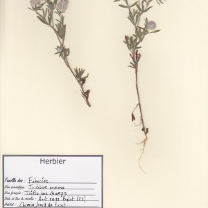 Photographie n°49939 du taxon Trifolium arvense L.