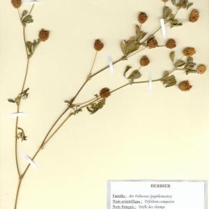 Photographie n°49940 du taxon Trifolium campestre Schreb. [1804]