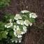 Laurent Petit - Viburnum opulus L.