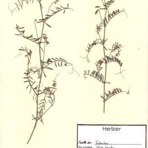 - Vicia hirsuta (L.) Gray