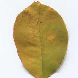 Photographie n°50013 du taxon Prunus mahaleb L.