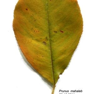 Photographie n°50015 du taxon Prunus mahaleb L.