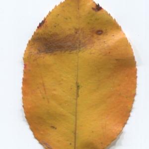 Photographie n°50017 du taxon Prunus mahaleb L.