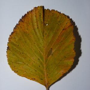 Photographie n°50102 du taxon Angiospermes
