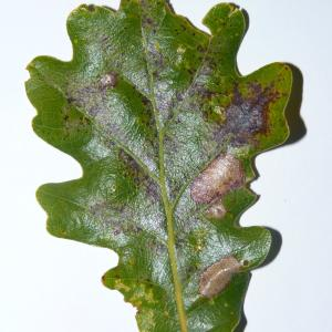 Photographie n°50104 du taxon Quercus pubescens Willd. [1805]