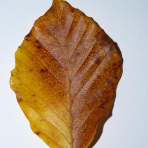 Photographie n°50105 du taxon Angiospermes