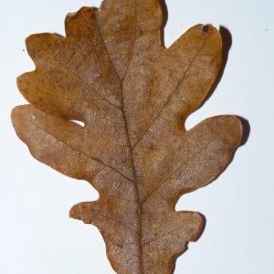 Photographie n°50109 du taxon Quercus pubescens Willd. [1805]
