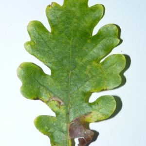 Photographie n°50110 du taxon Quercus pubescens Willd. [1805]