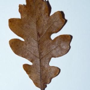 Photographie n°50111 du taxon Quercus pubescens Willd. [1805]