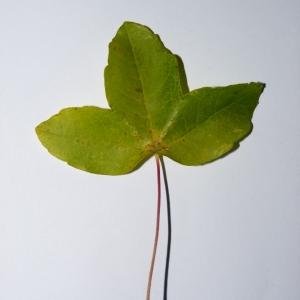 Photographie n°50116 du taxon Acer monspessulanum L. [1753]