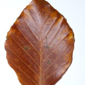 Photographie n°50120 du taxon Angiospermes