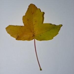 Photographie n°50122 du taxon Acer monspessulanum L. [1753]