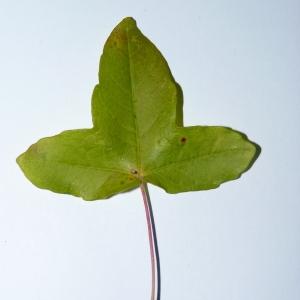 Photographie n°50124 du taxon Acer monspessulanum L. [1753]