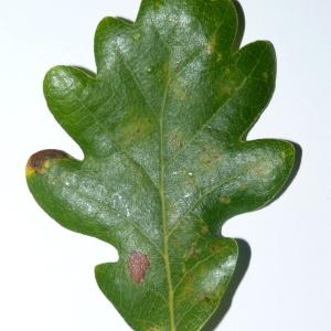 Photographie n°50127 du taxon Quercus pubescens Willd. [1805]