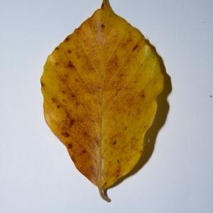 Photographie n°50128 du taxon Angiospermes