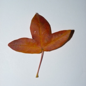 Photographie n°50131 du taxon Acer monspessulanum L. [1753]