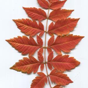Photographie n°50133 du taxon Koelreuteria paniculata Laxm.