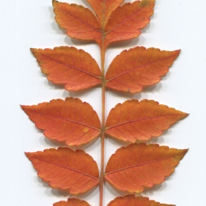 Photographie n°50134 du taxon Koelreuteria paniculata Laxm.