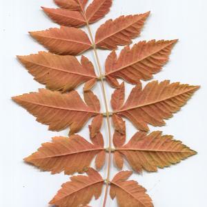 Photographie n°50135 du taxon Koelreuteria paniculata Laxm.