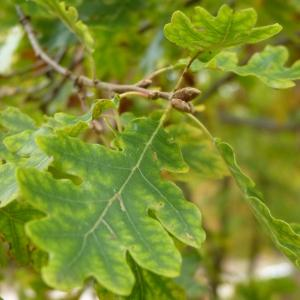Photographie n°50142 du taxon Quercus pubescens Willd. [1805]
